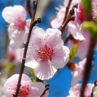 tresnjin-cvet