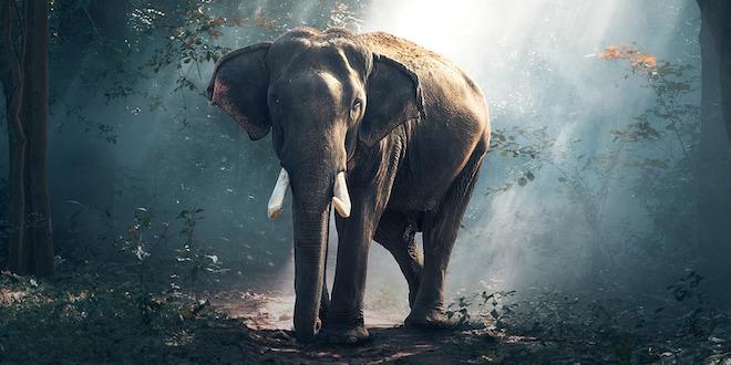 Slon u prirodi na Tajlandu